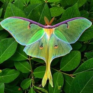 Mariposa Noturna